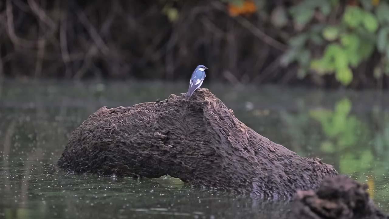 Aves en Tambopata Madre de Dios